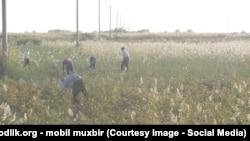 Люди на уборке хлопка в Узбекистане. Иллюстративное фото.