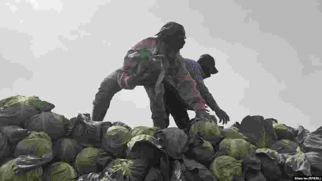 Егістік алқабында капустаны көлікке тиеп жатқан адамдар. Түркістан облысы, Жетісай ауданы, 29 сәуір 2020 жыл.
