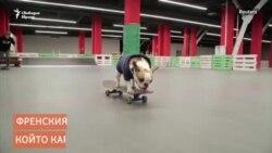 Френският булдог, който кара скейтборд в Русия
