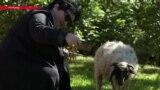 Почему жители грузинского Телави хотят выбрать овцу в мэры