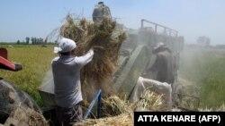 برداشت برنج در مازندران