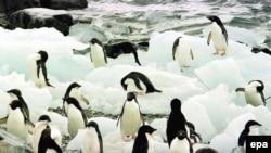 Antarctic -- Adelie penguins on Torgerson Island on the Antarctic Peninsula, 09Feb1997