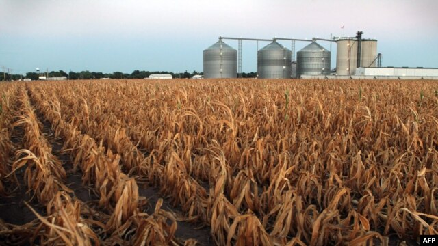 A field of dead corn in Palestine, Illinois