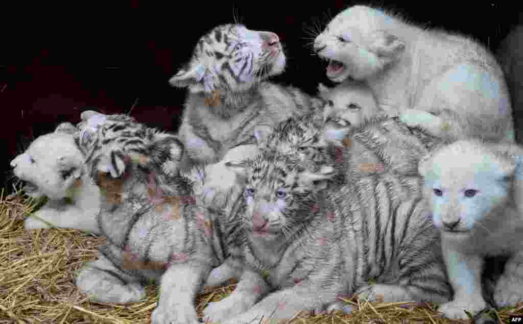 Four white lions and four white tigers pose for a picture at the Serengeti wildlife park in Hodenhagen, central Germany. The tiger cubs were born at the park in October, the lion cubs in November. (AFP/Julian Stratenschulte)