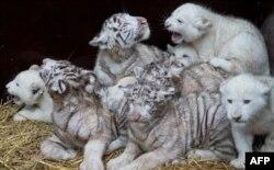 Katër luanë të bardhë dhe katër tigra të bardhë në një kopsht zoologjik në Gjermani.
