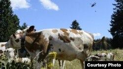 Швейцарский военный вертолёт доставляет воду пасущимся коровам
