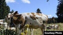 Чаще всего люди заражаются сибирской язвой при убое больного домашнего скота.