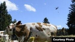 Швейцарский военный вертолет доставляет воду пасущимся коровам в приграничном с Францией районе Швейцарии, 27 июля 2015 года.