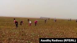 İmişli rayonu, pambıq tarlası