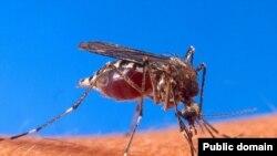 Москит <i>Aedes aegypti</i>. Переносчик желтой лихорадки