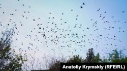 Вороны, похоже, тоже испытывают дискомфорт от кислотных испарений