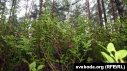 Чарніцы ў лесе, архіўнае фота