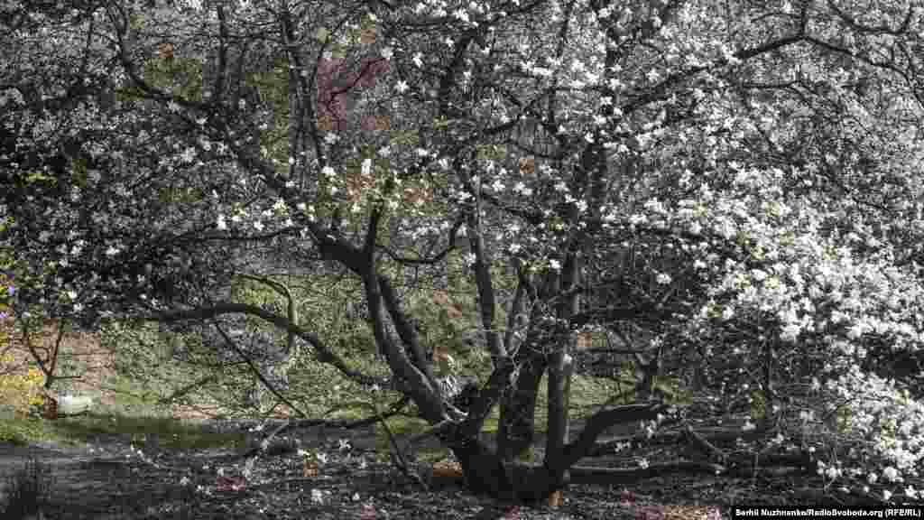 Тим часом у Ботанічному саду цвітуть дерева. Щовесни тут, зазвичай, дуже людно. Кияни і гості столиці масово приходять дивитися на цю красу. Коронавірус і карантин цього року все змінили