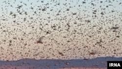 Early spring rains in Iran made the locust invasion worse.