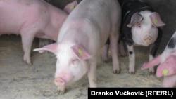 Sigurnosne mere na farmama su od ključnog značaja, zbog načina na koji se bolest širi (ilustracija)