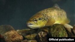 Пелистерската пастрмка е ендемична во регионот и живее во Кранска и Брајчинска Река. Tаа е загрозена според Меѓународната унија за заштита на природата.