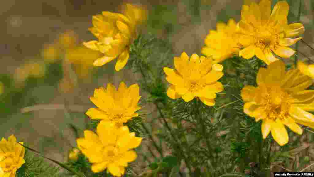 На склоне балки расцвел адонис весенний или горицвет