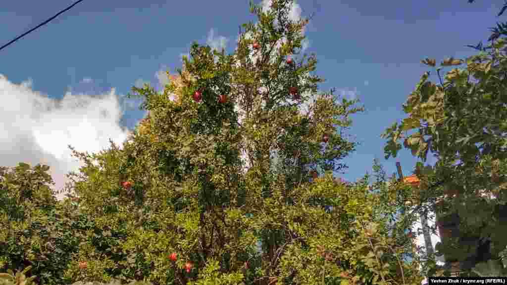 Во многих дворах спеют гранаты. Экспериментальный участок для выращивания экзотических культур появился в Кореизе в 1991 году. На нем выращивали 2 сорта средиземноморских маслин, 13 сортов граната, 9 сортов кизила, 8 сортов хурмы и шефердию – «сестру» облепихи, родом из Северной Америки