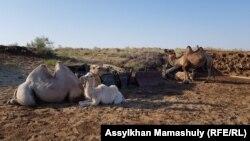 Верблюды на стоянке Болеккум, где живет животновод Болекбай Бейсеналиев с семьей.