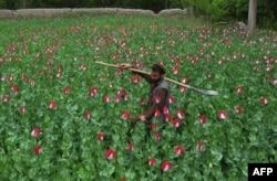 Афганский крестьянин из провинции Нангархар на своем маковом поле