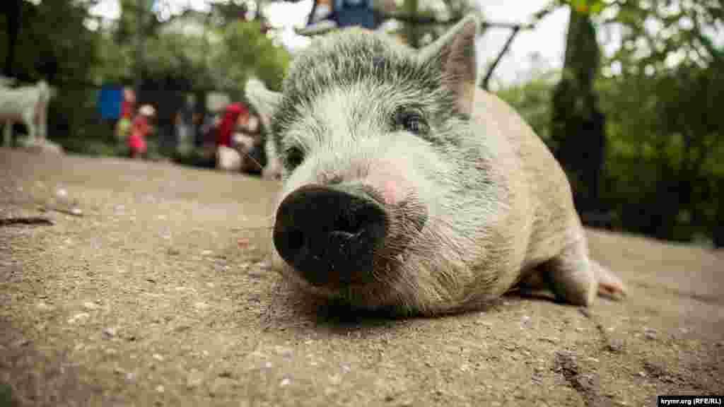 Свинка в зоопарке «Сказка»