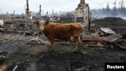 Корову победить - не теракт раскрыть