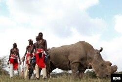 سودان؛ آخرین کرگدن نر سفید شمالی که عمر او و نسلش به بهار امسال نرسید