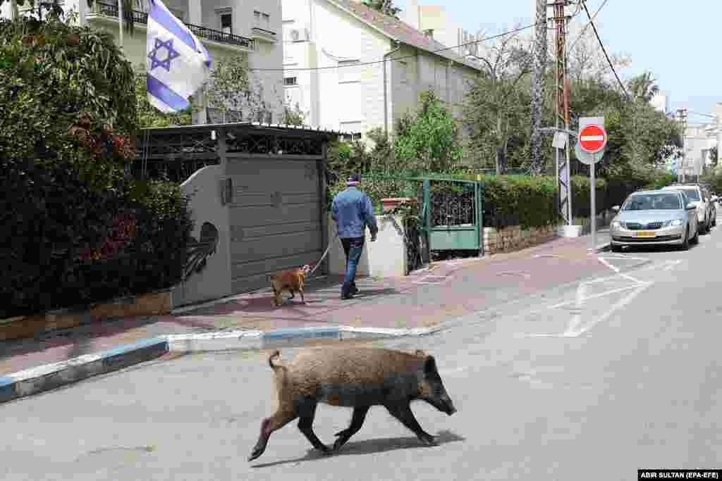 Дикий кабан бродит по улице в городе Хайфа на севере Израиля
