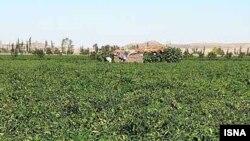 به گفته پاره ای از کارشناسان، مشکلات ناشی از افزايش واردات شکر به کشاورزان نيشکر محدود نمی شود و کشاورزان چغندرکار نيز با همين مشکل دست به گريبانند.
