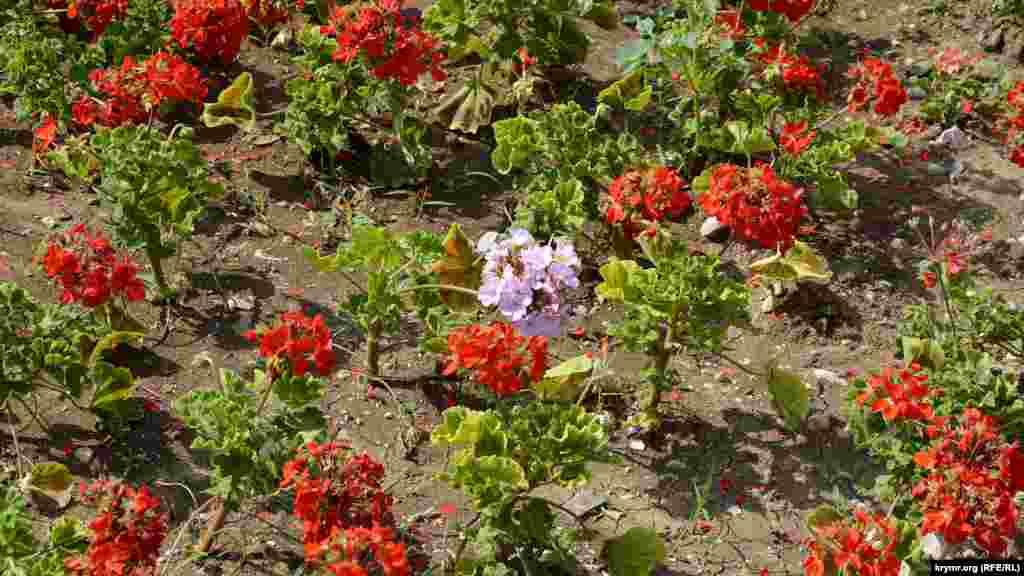 Çeçeklerni er kün suvaralar, amma olarep bir 30 derecedeki sıcaqqa zornen dayana