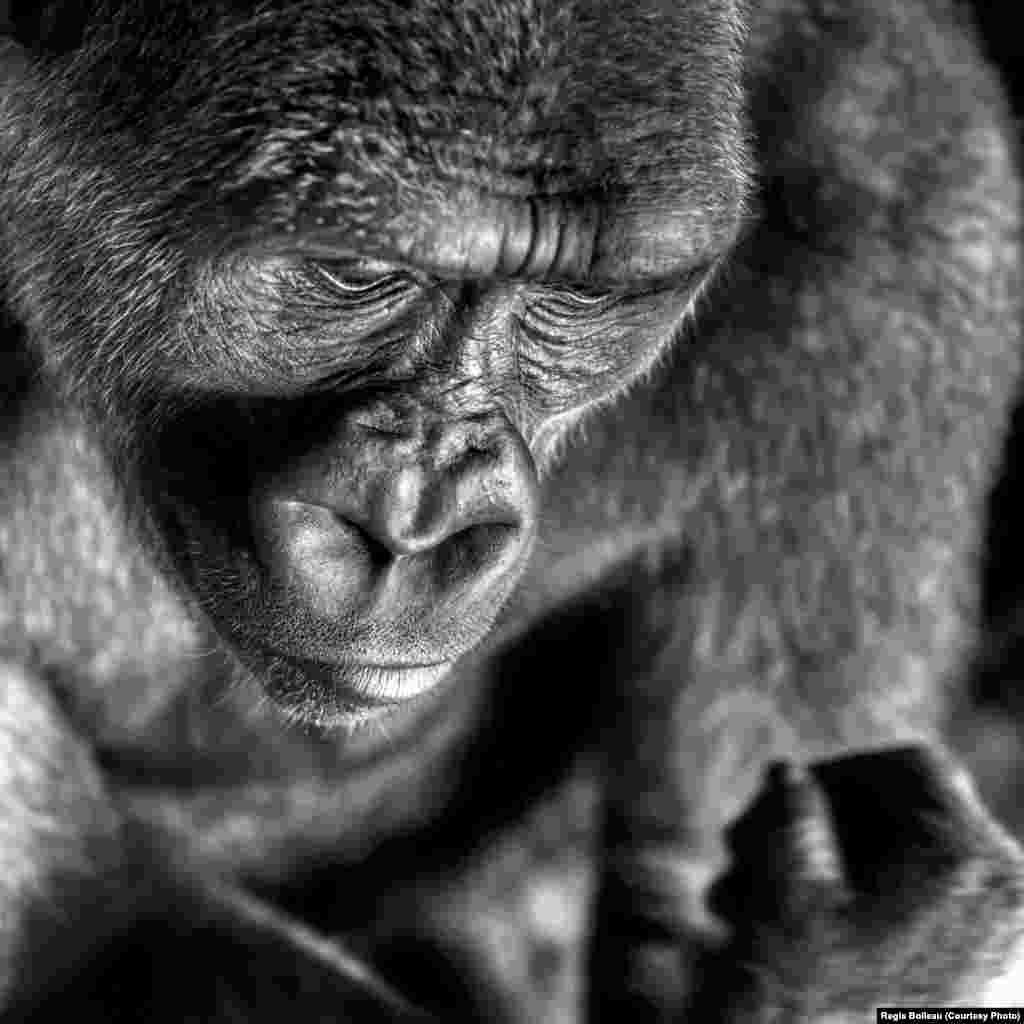 Photographer Regis Boileau of France was short-listed in the Nature & Wildlife category for this portrait of an ape.