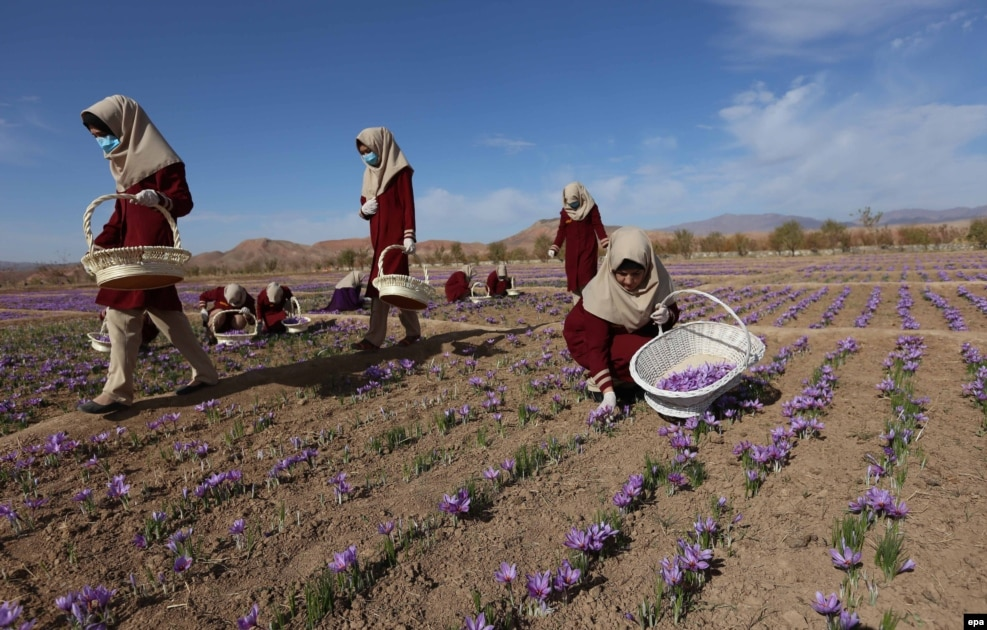Afghan women collect saffron flowers in the Karukh district of Herat, Afghanistan. The plant is seen as an alternative to poppy cultivation. (epa/Jalil Rezayee)