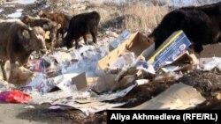 Местный скот пасется на мусорном полигоне. Алматинская область, поселок Абай, 11 марта 2013 года.