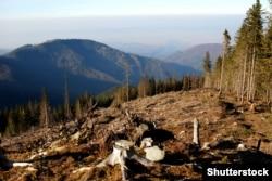 Вырубка реликтового леса в Карпатах