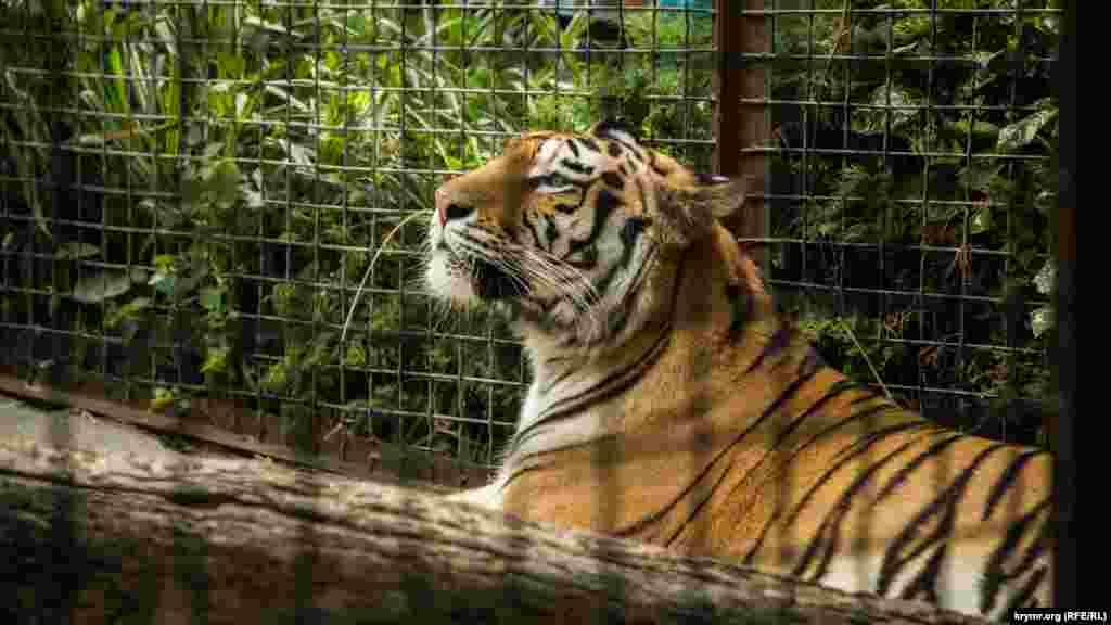 Тим часом тигр активно позує для камер відвідувачів