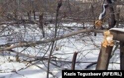 Вырубленная роща в поселке Тастыбулак Карасайского района Алматинской области. 11 марта 2013 года.