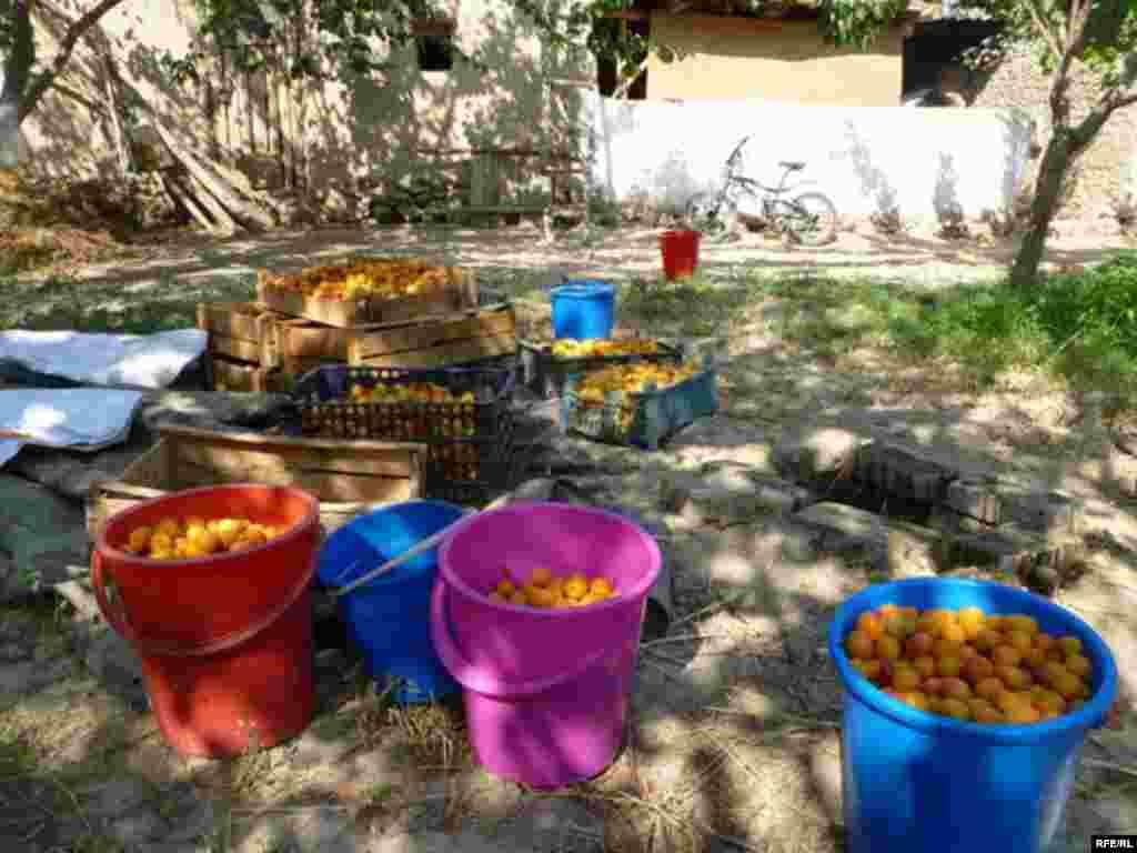 Абрикосовый рай в Баткене #12