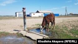 Бөкенші ауылында құдықтан су ішіп тұрған тана. Шығыс Қазақстан облысы. 25 шілде, 2021 жыл.