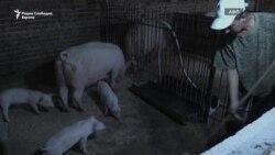Во Бугарија беснее африканската свинска чума