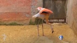 Braziliya zooparkında protez ayaqlı flaminqo