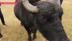 Зачем буйвола Мишу заставляют жевать камыш на берегу Дуная