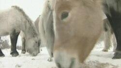 Российский эколог воссоздает в Сибири экосистему Ледникового периода