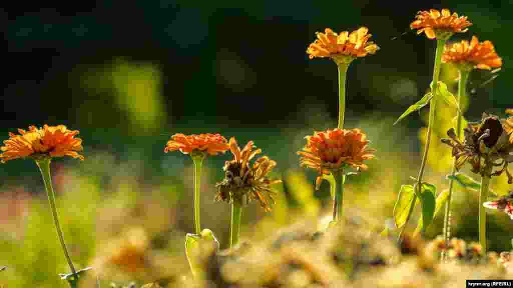 Літні садові квіти в'януть в університетському ботсаду в Сімферополі