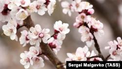 Цветущий Крым: весенние пейзажи полуострова (фотогалерея)