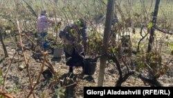 ფერმერები სეტყვისგან დაზიანებულ ყურძენს კრეფენ