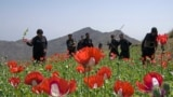Pakistani police destroy an opium poppy crop about 100 kilometers from Peshawar. (AFP/Abdul Majeed)