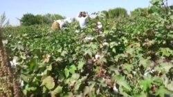 Türkmənistanda uşaqları yenə də pambıq yığımına cəlb edirlər