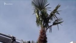 Глава Ялты посадил на пальмовой аллее персональное дерево (видео)