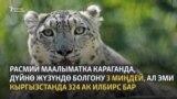 Жарадар илбирсти Бишкекке алып келишти