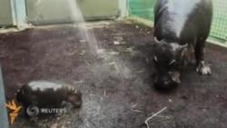 Австралия зоопаркида гиппопотамнинг икки ҳафталик боласи кўриниш берди